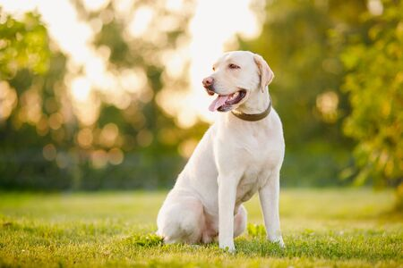 Active, smile and happy purebred labrador retriever dog outdoors in grass park on sunny summer day Banco de Imagens