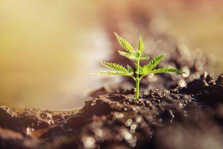 Bush marijuana cannabis on blurred background at sunset. Concept herb on farm Stock fotó - 133397595