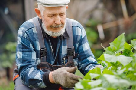 Farmer man checks patch of cucumbers and pulls out weeds, wire. Eco farm concept