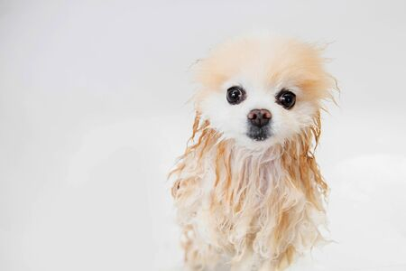 Wet wool trembling lonely dog groomer wash hair in white bath pomeranian spitz.