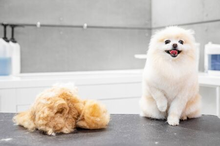 Concept hairdresser for animals, groomer has trimmed happy dog pomeranian spitz.
