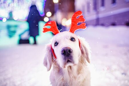 Labrador retriever dog in role of deer with red horns in evening winter on background of snow with illumination. Merry Christmas and Happy New Year. Stock Photo