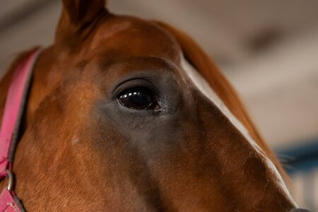 Close-up detail eye of brown horse, bridle, saddle