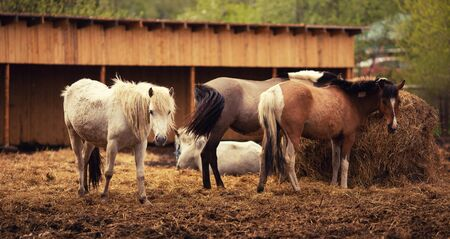 Brown young horse herd in corral farm, autumn photo