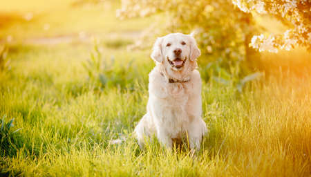 Happy purebred labrador retriever dog smile outdoors in grass park on sunny summer day