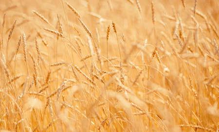 Ripe wheat develops in wind close-up sunset light Stock fotó