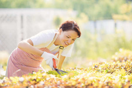 Working in garden, woman gardener trims bushes with pruner for smooth hedge