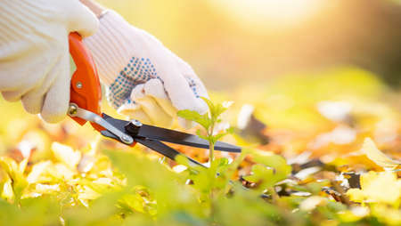 Banner hand gardener woman trimming bushes and shrubs with hedge shears in garden tidy