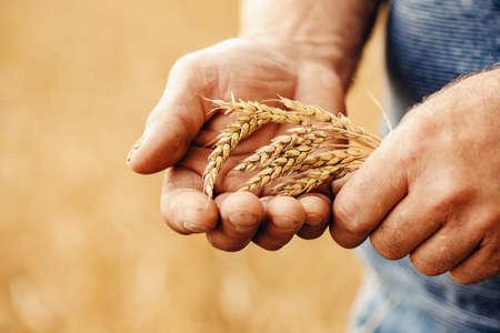 Close-up macro golden barley ears in hands of farmer in field Stockfoto