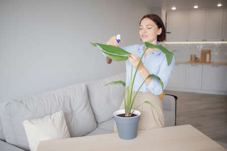 Woman sprays house plant from pultilizer with water to moisturize, caring for flowers in summer in apartment home