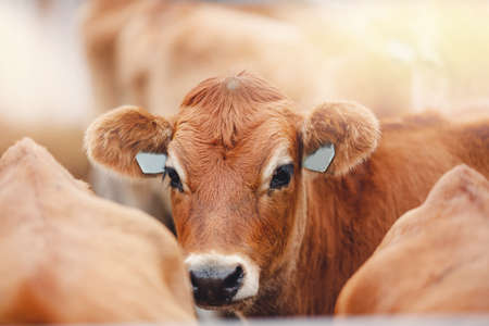 Portrait of red hairy jersey smile cow funny face, big ears showing tongue