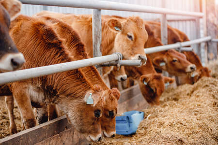 Dairy farm livestock industry. Red jersey cows stand in stall eating hay