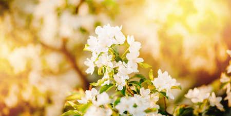 Apple tree flowers close up, spring sunlight
