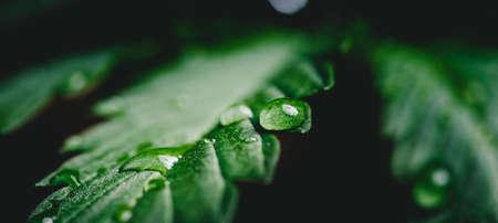 Banner macro drop water after rain on cannabis leaves or marijuana of plant on dark blurred background 版權商用圖片