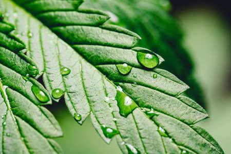 Closeup drop water on cannabis leaves or marijuana of plant on dark blurred background 版權商用圖片