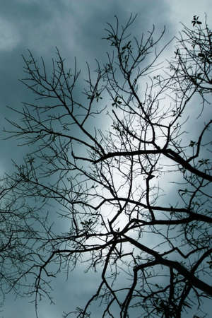 Silhouette of Big Tree Branch in the evening sky