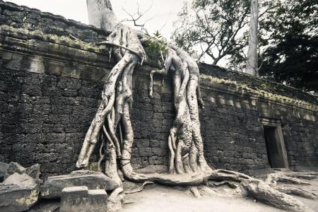 angor: Root of Big Tree at Angor, Cambodia Stock Photo