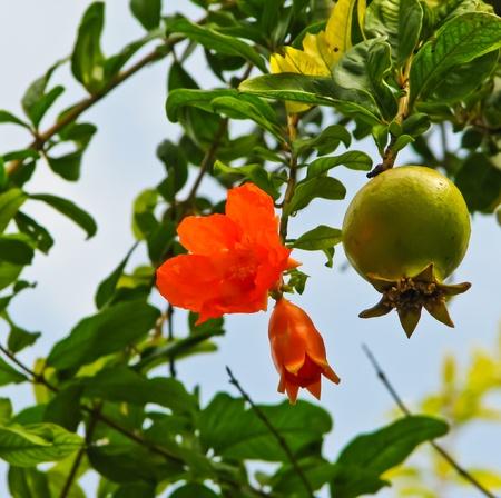 pomegranate flower and fruit photo
