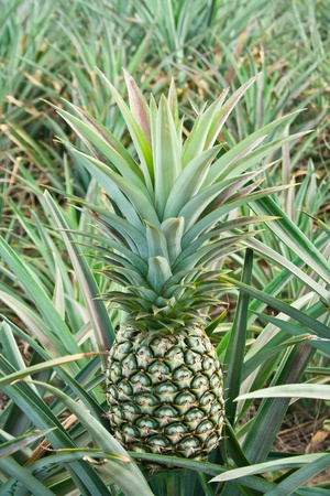 fresh pineapple in field,Thailand Stock Photo