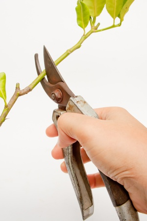 metal scissors cutting branch photo