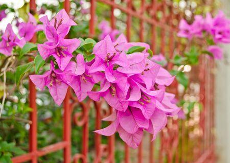 purple Bougainvillea flower in garden