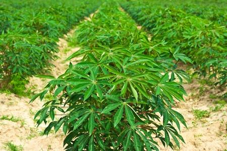 row of cassava tree in field Standard-Bild