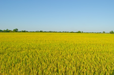 landscape of golden rice field in Thailand photo