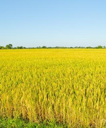 paisaje de campos de arroz de oro en Tailandia