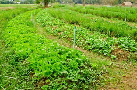 curve of vegetables field in countryside farm  photo