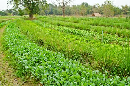 vegetables field in countryside farm,Thailand Stock Photo