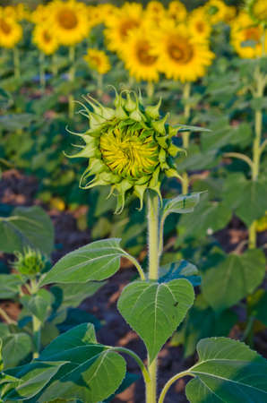 young sunflower among blooming sunflower in farm Stock Photo - 12049440