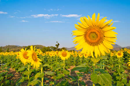 sunflower blooming in farm Stock Photo