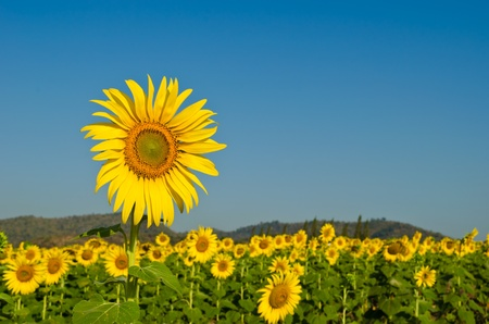 blooming sunflower in field with blue sky