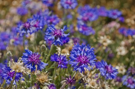 cornflower blooming in garden photo