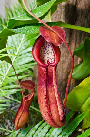 Pitcher plant growing in tropical forest photo