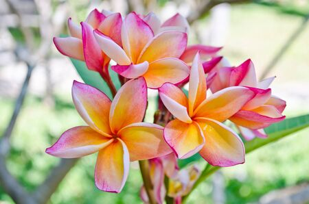 frangipani flower blooming in the garden photo