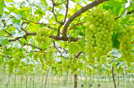 Grape garden