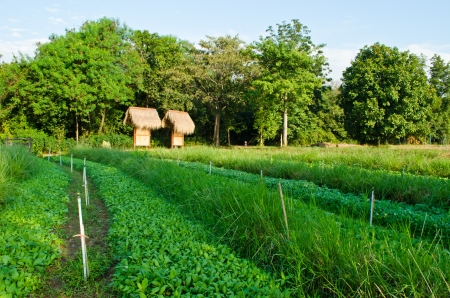 Vegetables field at countryside of Thailand