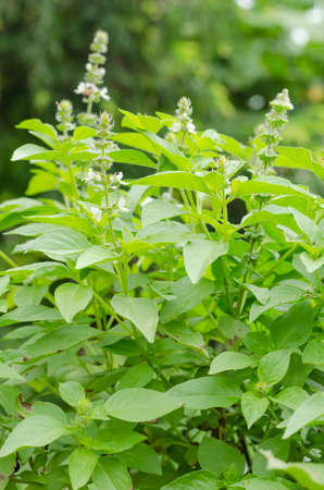 hoary: hoary basil or lemon basil in garden