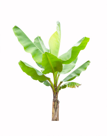 tree trunk: Banana tree isolated on white background Stock Photo