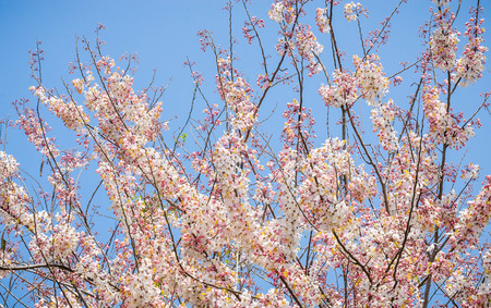 Pink Cassia flower with blue sky photo