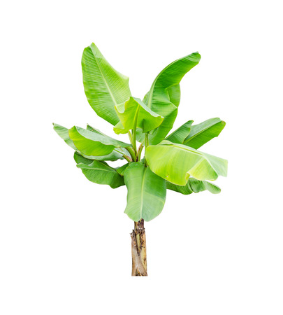 Banana tree over white Stock Photo