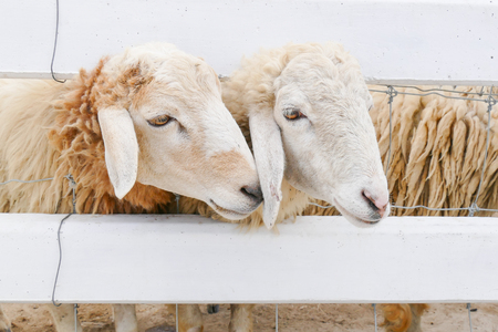 wooly: Two sheep in farm Stock Photo