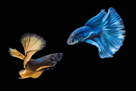 Siamese fighting fish over black background