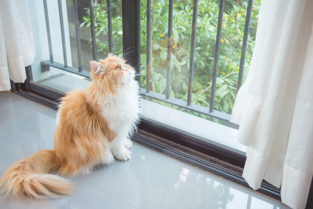 Pretty orange color persia cat sitting beside window and looking up