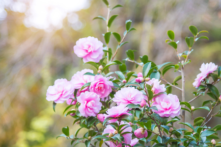 Pink color camellia flower blooming in japanese park