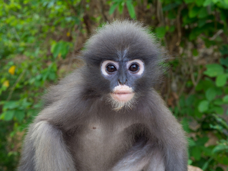 Close up shot of Leaf monkey in Thailand