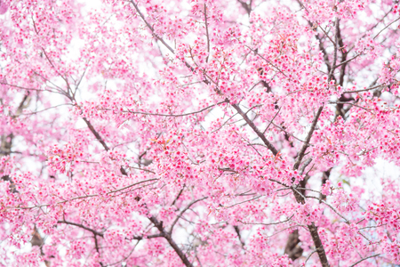 Beautiful Wild Himalayan Cherry (Prunus cerasoides) at Doi Inthanon, Chiang Mai, Thailand.
