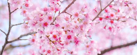 Closeup shot of Beautiful Wild Himalayan Cherry (Prunus cerasoides) at Doi Inthanon, Chiang Mai, Thailand.