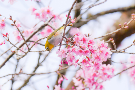 Chestnut-flanked White-eye (Zosterops Erythropleurus)  ,Yellow bird on branch of Wild Himalayan Cherry tree with flower blooming
